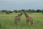 KA6P5378 Botswana, Okavanga, Game Park, Safari