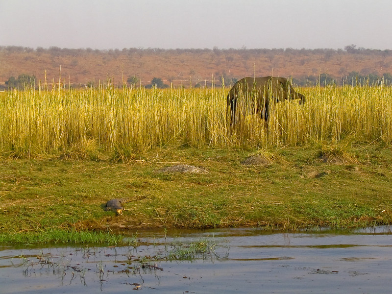 Crocodile & Elephant, Chobe N.P.
