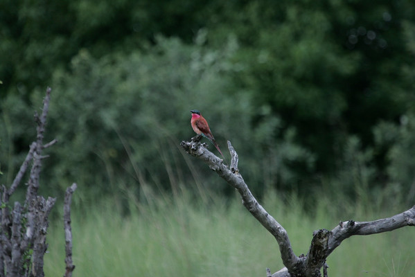 KA6P5606 Botswana, Okavanga, Game Park, Safari