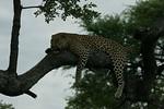 KA6P4439 Botswana, Okavanga, Game Park, Safari Leopard, Cat, Wild