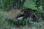 KA6P5965 Botswana, Okavanga, Game Park, Safari