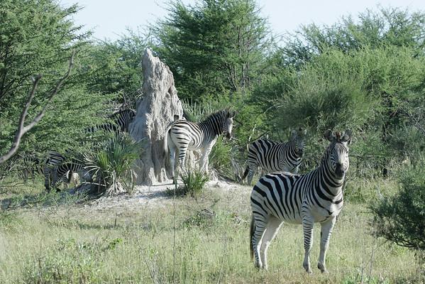 KA6P6843 Botswana, Okavanga, Game Park, Safari