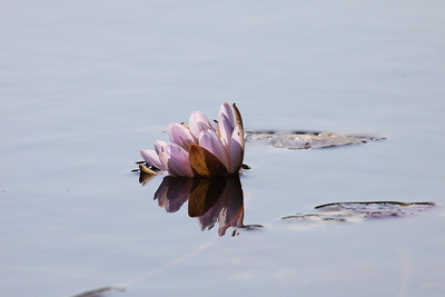 Water Lily on the Okavango Delta