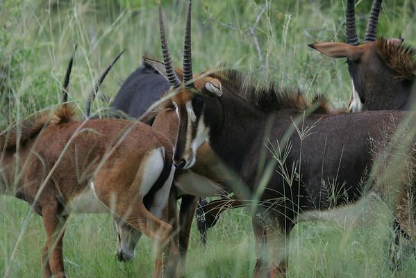 KA6P5335 Botswana, Okavanga, Game Park, Safari