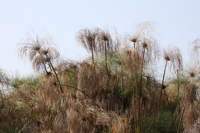Papyrus beds on the Okavango Delta