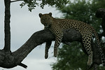 KA6P4454 Botswana, Okavanga, Game Park, Safari Leopard, Cat, Wild