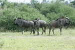 KA6P6298 Botswana, Okavanga, Game Park, Safari