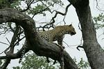 KA6P5210 Botswana, Okavanga, Game Park, Safari Leopard, Cat, Wild