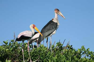 Yellow-billed and Marabou Storks