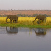 African Bush Elephant (Loxodonta africana), Chobe N.P.