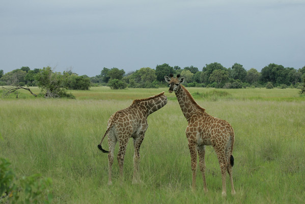 KA6P5379 Botswana, Okavanga, Game Park, Safari