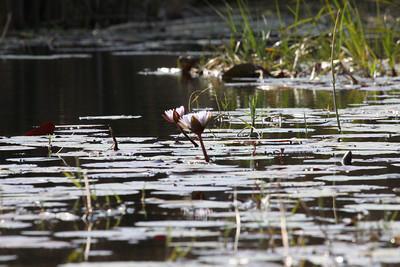 Water lilies on the Okavango Delta