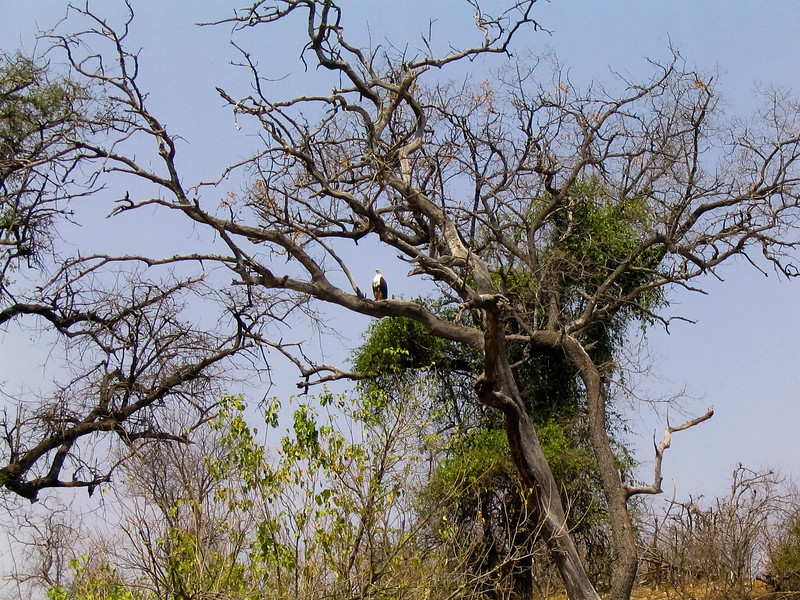 African Fish Eagle (Haliaeetus vocifer), Chobe N.P.