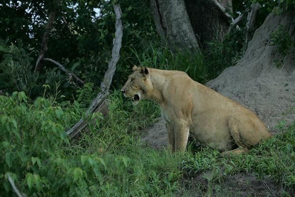 KA6P5857 Botswana, Okavanga, Game Park, Safari