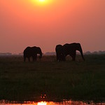 Sunset Elephants in Chobe