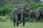 KA6P5101 Botswana, Okavanga, Game Park, Safari