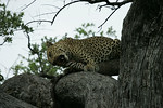 KA6P5189 Botswana, Okavanga, Game Park, Safari Leopard, Cat, Wild