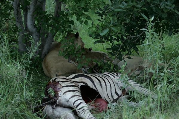 KA6P5716 Botswana, Okavanga, Game Park, Safari