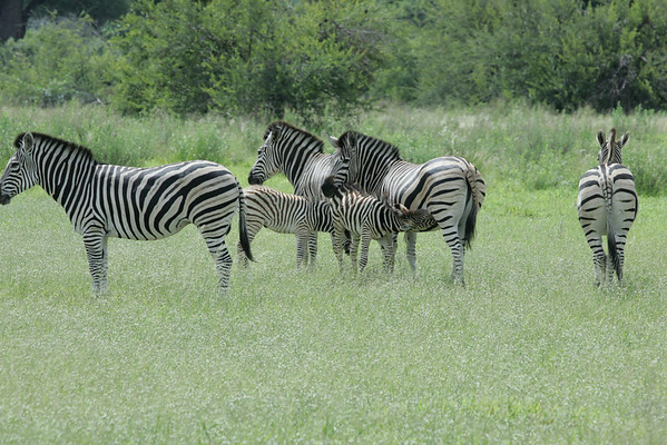 KA6P6619 Botswana, Okavanga, Game Park, Safari