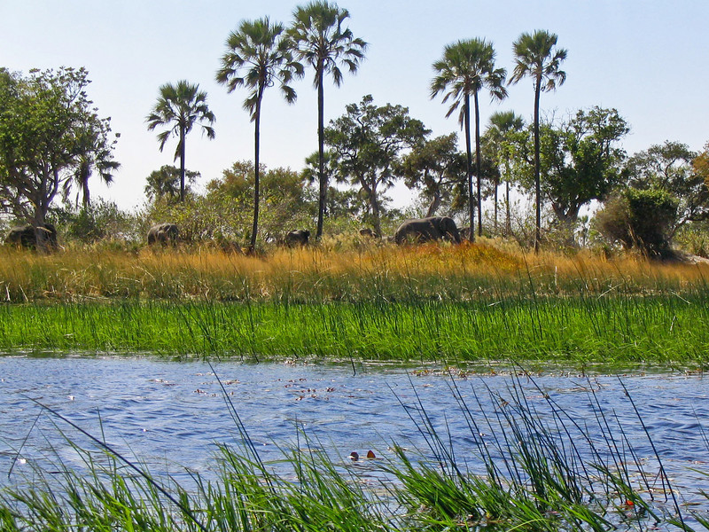 Elephants, Okavango Delta