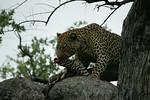 KA6P5199 Botswana, Okavanga, Game Park, Safari Leopard, Cat, Wild