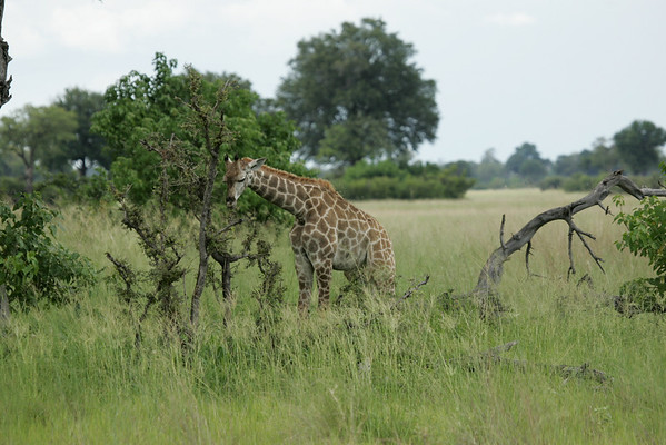 KA6P5369 Botswana, Okavanga, Game Park, Safari