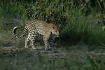 KA6P4238 Botswana, Okavanga, Game Park, Safari Leopard, Cat, Wild