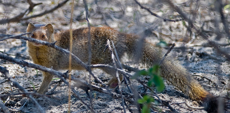 100_7730<br /> Slender Mongoose, also known as the Black-Tipped Mongoose or the Black-Tailed Mongoose, is a very common species of mongoose.