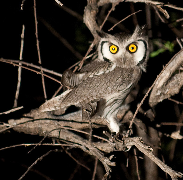 100_7869<br /> Southern White-faced Owl