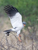 100_7687<br /> Pale Chanting Goshawk