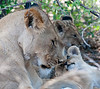100_7582<br /> Our first Lion sighting.  Mother with 2 cubs, approximately 3 weeks old. Mother made them relax on their first encounter with humans and the Land Rover.