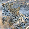 100_7632<br /> Leopard cubs about 5 months old. Notice the different eye colors.