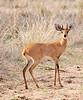 100_7880<br /> Steenbok