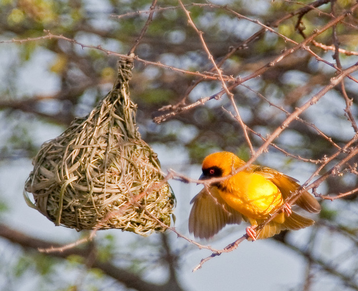 100_7650<br /> Weaver Bird, maintaining one of several nests.
