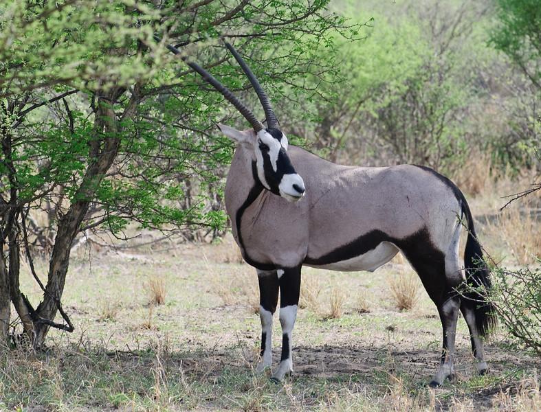 100_7896<br /> Oryx