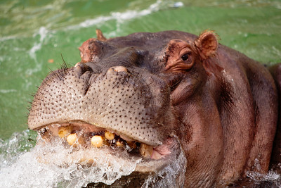 Hippo, possibly pissed