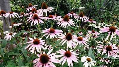 Healthy cone flowers
