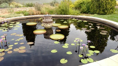 Star Lily plants, drum head lily pads, cloudy sky, round pond w water spout