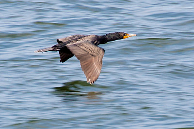 Cormorant flying in ground-effect mode.  (See: http://www.uh.edu/engines/epi2874.htm )
