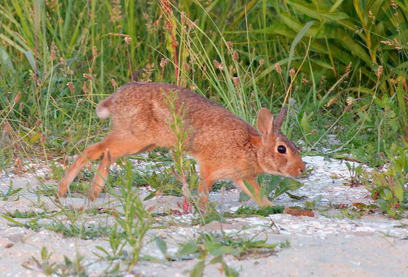 A rabbit bolts out of the grass.