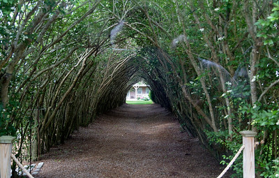 Hedge with a privet tunnel in Nantucket