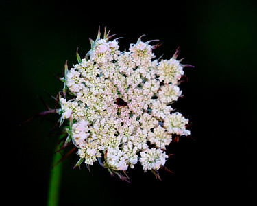Queen Anne's Lace along the shore ...