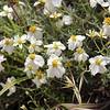 Desert Zinnia / Sunflower Family / Southwest US