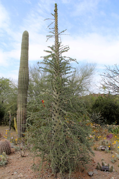 BooJum Tree / Succulent / Octilla Family / Baja Mexico