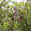 JoJoba Tree / native