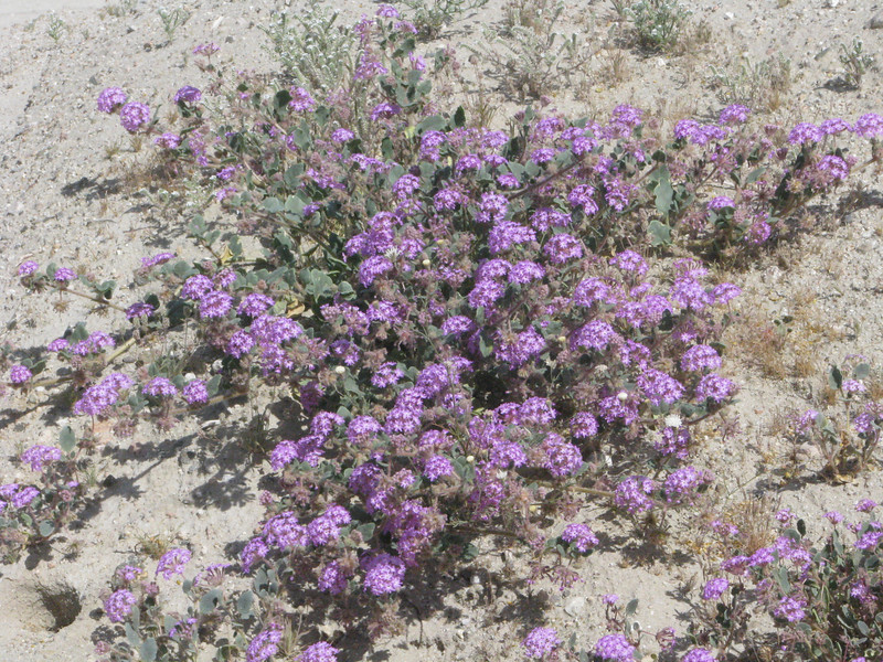 Purple Sand Verbena on Dos Plamas Rd just before Coachella Canal Road.