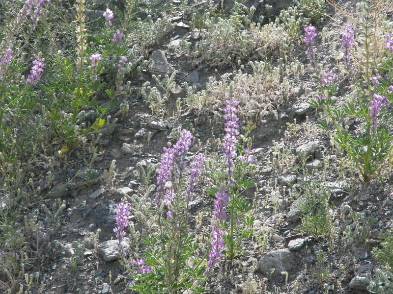 Mojave Lupine lined on side of the dirt road.