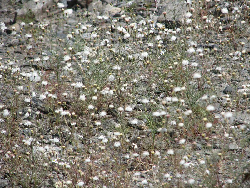 There are many Desert Pincushion along the way.