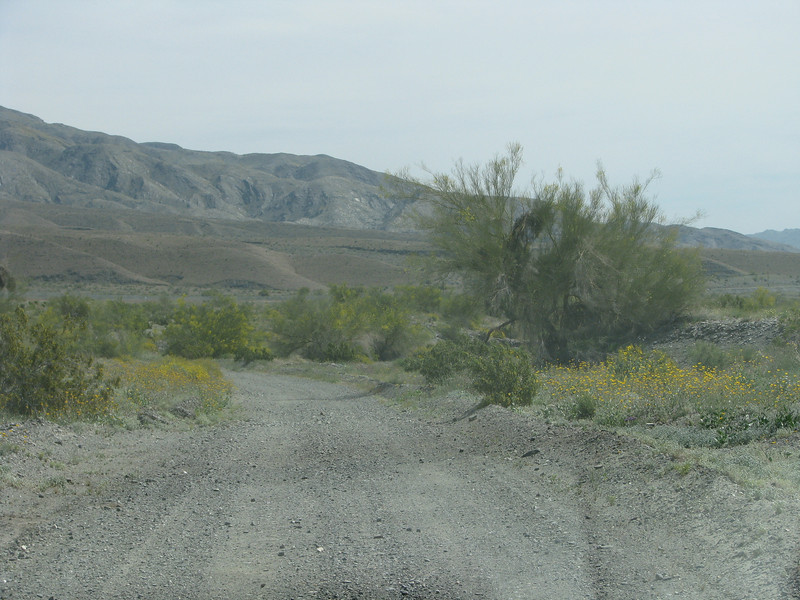 Winding around and through the local growth of Brittlebush in bloom.