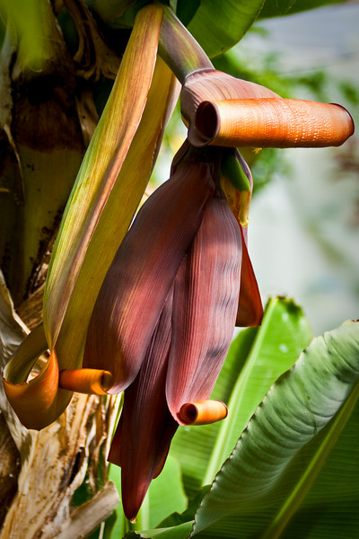 Banana flower is ready to drop it's bananas.